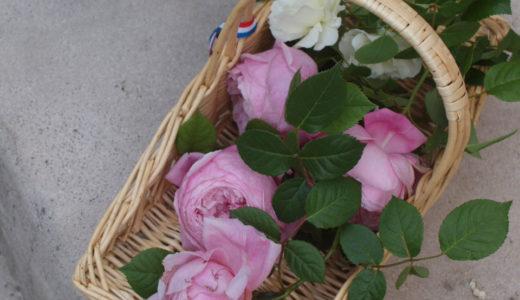 初心者でも育てやすいおすすめの薔薇!イングリッシュローズとフレンチローズの紹介と育て方