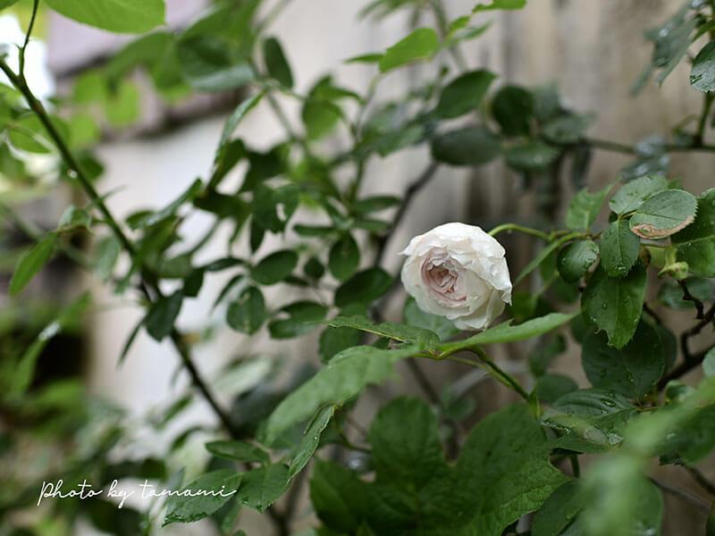 国産薔薇クリスティアーナ