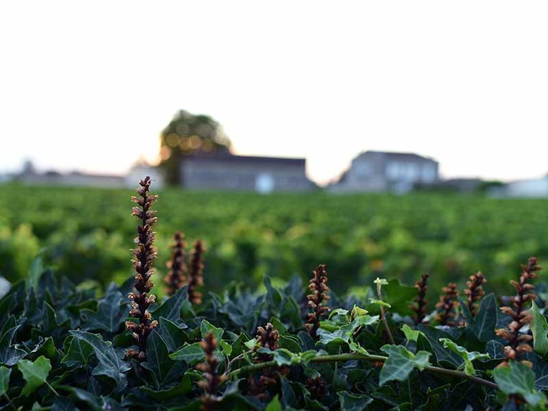 サンテミリオンのぶどう畑