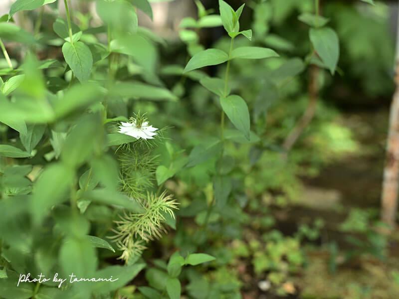 春にオススメの一年草ニゲラ