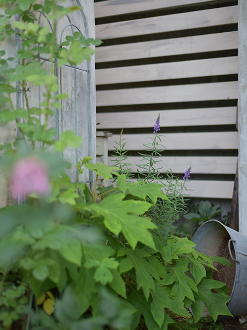 宿根リナリアとカシワバ紫陽花