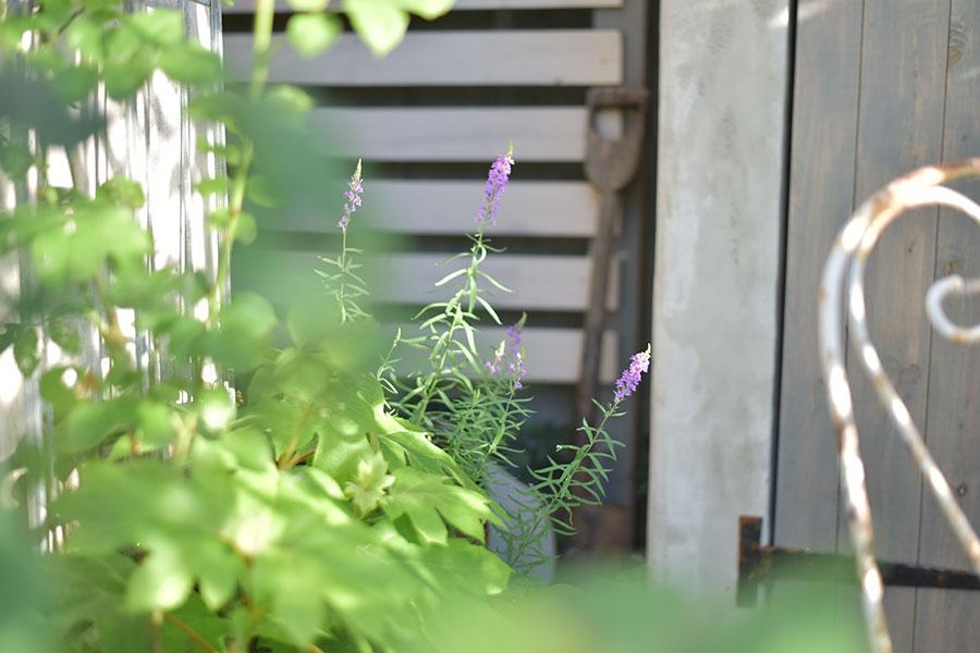 宿根草リナリア