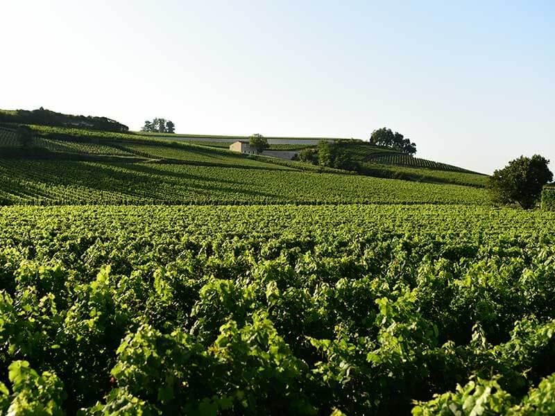 サンテミリオンのブドウ畑