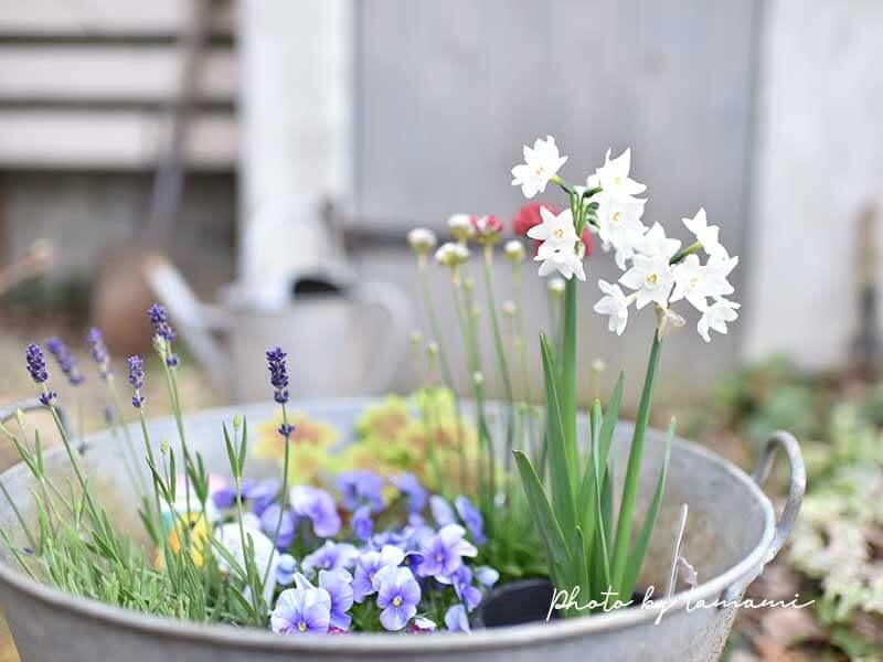 八重咲き水仙ペーパーホワイト