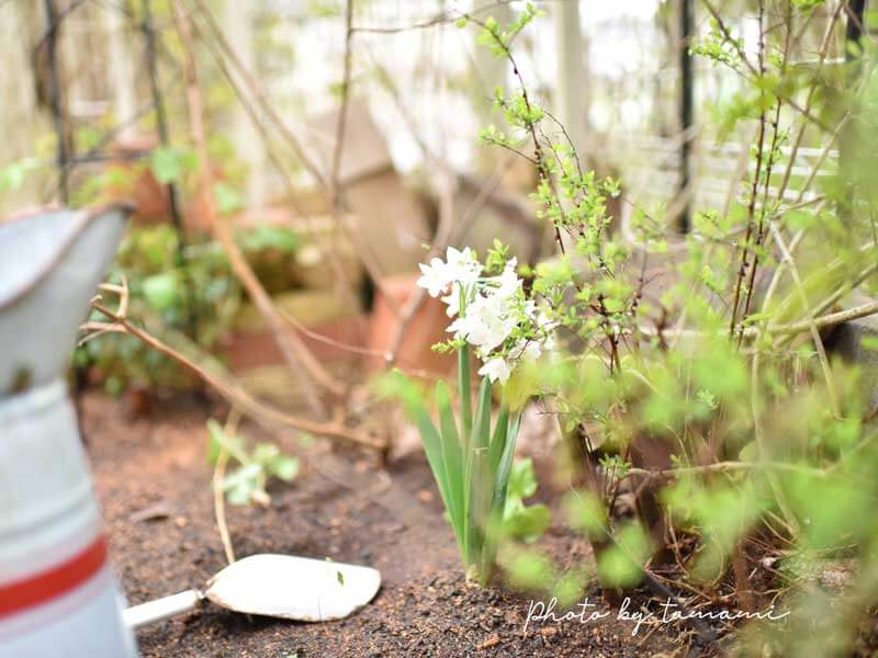 八重咲き水仙 ペーパーホワイト