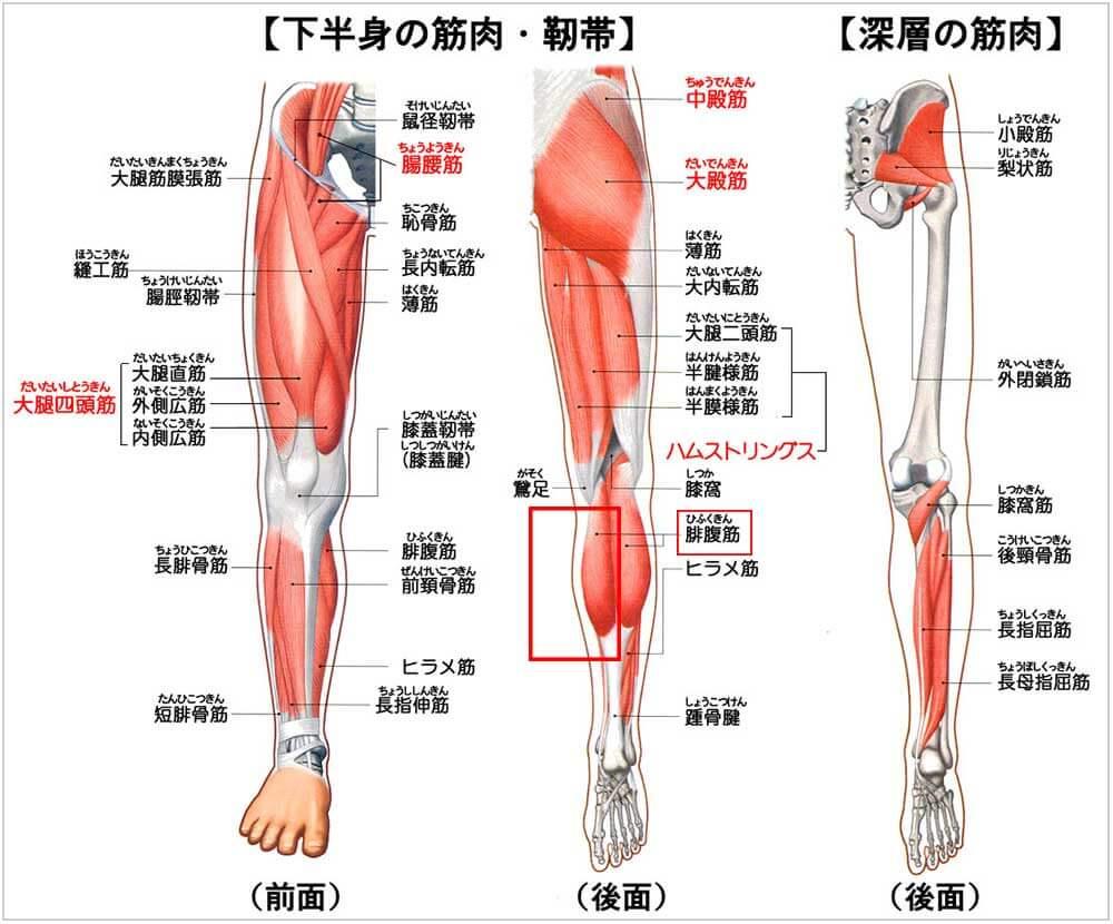 筋肉の図解