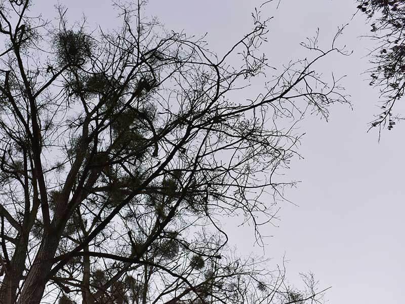 リヨン・ラ・フォレの宿り木