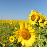 フランス南西部のひまわり畑