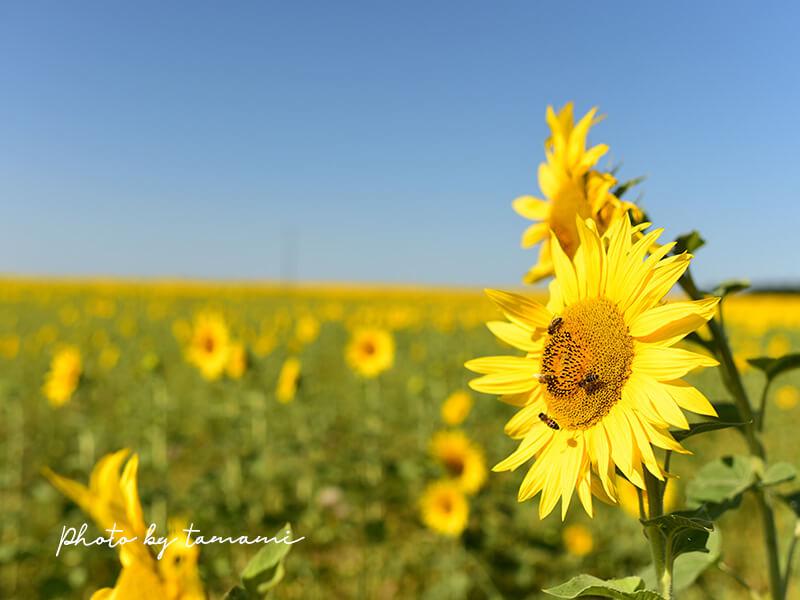 フランス南西部でみたひまわり畑