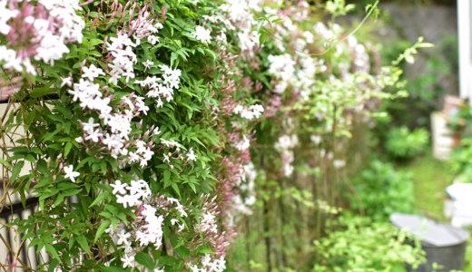 北側の庭にジャスミンを植えてフレンチ空間をつくる